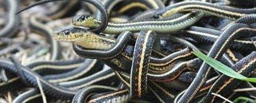 Imagini apocaliptice! O comună din România invadată de șerpi