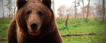 Un bărbat a fost ucis de un urs în Bacău. O altă persoană a fost atacată în Bistrița