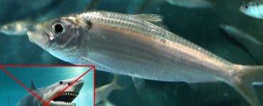 Tipuri de pește pe care toată lumea ar trebui să le consume. Beneficiile acestui aliment