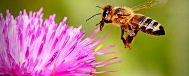 Albine polenizare
