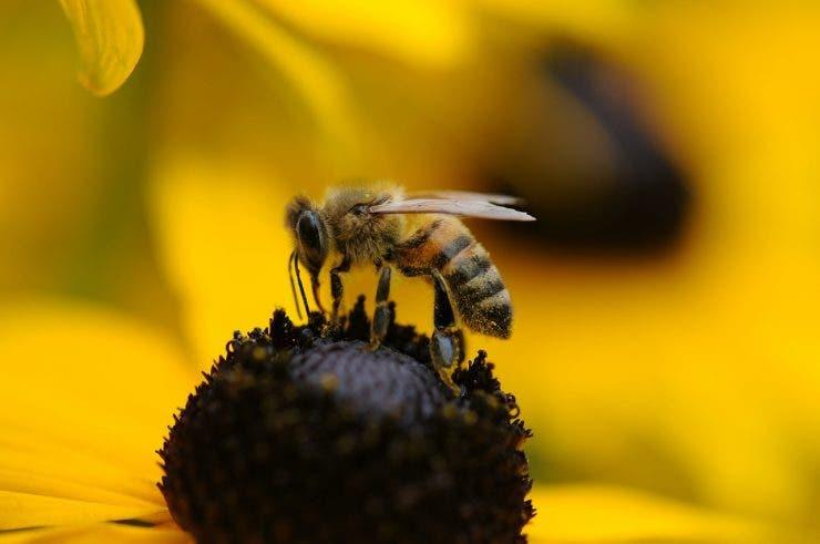 diferența dintre albină și viespe