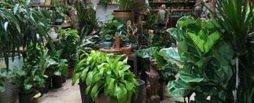 Planta care elimină toxinele din aer