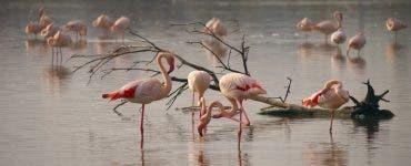 Păsările Flamingo vizitează cu interes România. Cel mai mare stol de flamingo văzut în Delta Dunării din ultimul secol