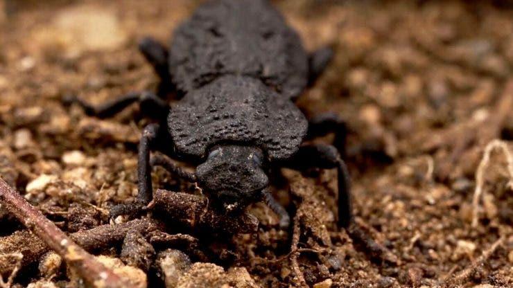 Există o specie de gândaci care poate fi călcată de mașină fără să fie pățească ceva
