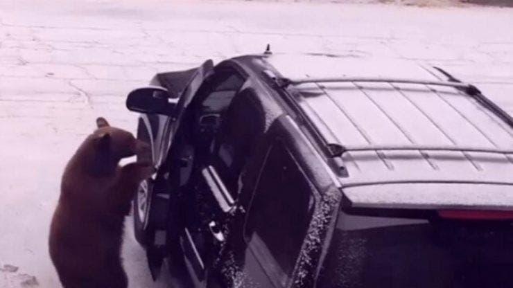 Un urs s-a închis singur într-o mașină
