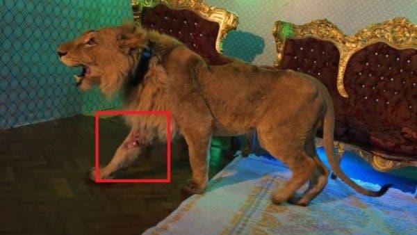 Dani Mocanu, acuzat că a filmat un videoclip cu un leu rănit şi chinuit