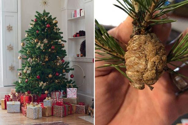 Verificați pomul de Crăciun! Ramurile brazilor pot conține insecte
