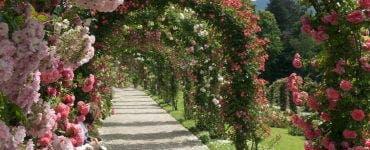 Cum să îngrijești eficient trandafirii cățărători