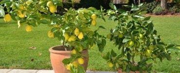 Cum se îngrijesc lămâii