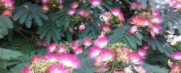 Totul despre arborele de mătase