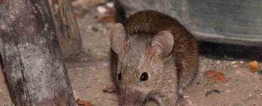 Cum sa scapi de șoareci