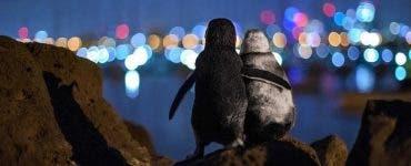 Povestea pinguinilor vaduvi