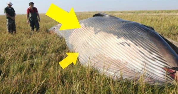 Un fermier a făcut descoperirea vieții lui! O balenă uriașă zăcea în mijlocul terenului său! Ce au spus biologii