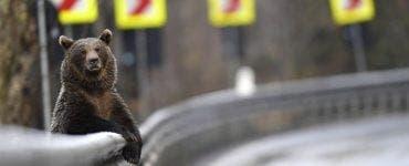Ministrul Mediului: Primăriile vor semna contract cu asociațiile de vânătoare pentru rezolvarea atacurilor urșilor prin intervenție imediată