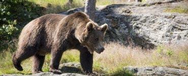 Autoritățile au transmis un mesaj RO Alert! Un urs a apărut pe Transfăgărășan