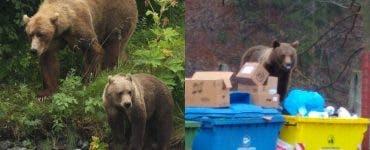 Ce soluție inedită a găsit primarul din Făgăraș pentru a scăpa de urși.